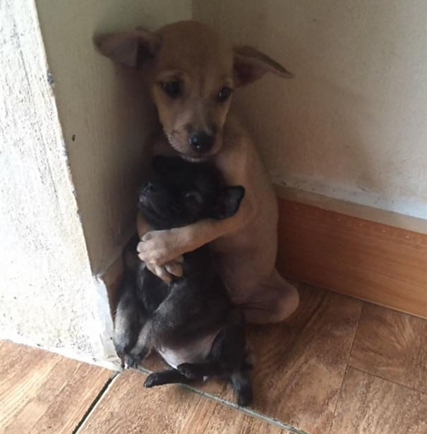 Dva šteneta petface