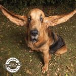 GINISOV REKORD: Upoznajte psa sa najdužim ušima!