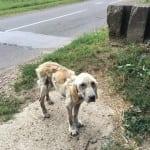 SREMSKA MITROVICA: Jeziv slučaj napuštenog i bolesnog labradora!