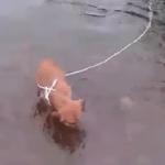 VIDEO: Spasio psa, kog je neko vezao kablom i bacio u reku Vrbas!