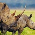 Svetski dan nosoroga: Manje poznate činjenice o nosorozima!