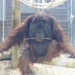 PRELEPO: Orangutan poljubio trudnicu u stomak i zaplakao!