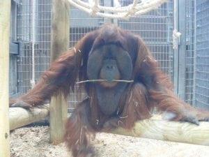 Orangutan petface