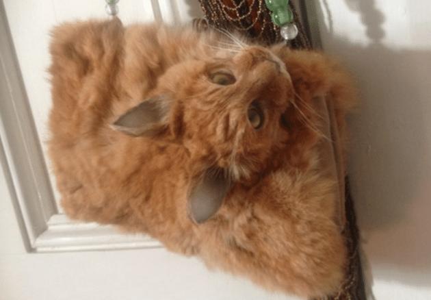 preparirane mačka petface
