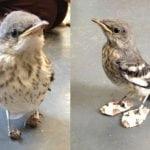 Udruženi ljubitelji životinja napravili ptici rugalici cipele od kartona kako bi hodala!