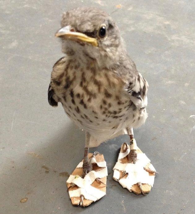Ptici rugalici petface