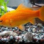 SVE ZA LJUBIMCA: Operacija zlatne ribice koštala 500 dolara!