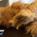 Spasen mačak sa krznom upetljanim oko nogu