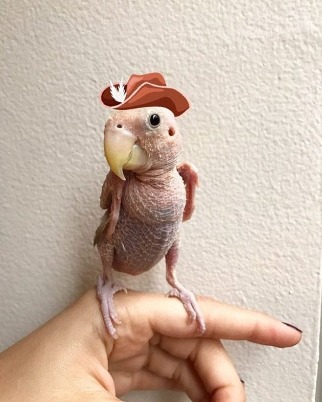 Ćelavi papagaj petface