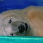 """DAJ SVOJ GLAS: Peticija da se oslobodi Pica – """"najtužniji medved na svetu""""!"""