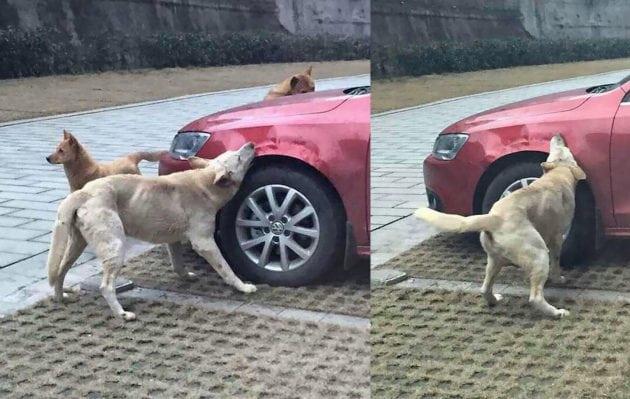 psi izgrizli auto petface
