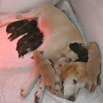 Faze rasta i razvoja kod pasa