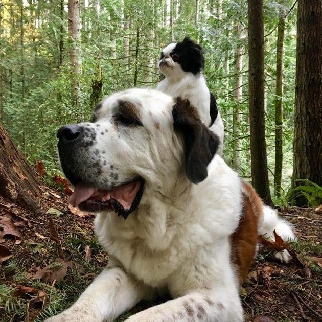 veliki pas petface