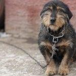 REČ STRUČNJAKA: Zašto je držanje na lancu loše za pse, a opasno po ljude?