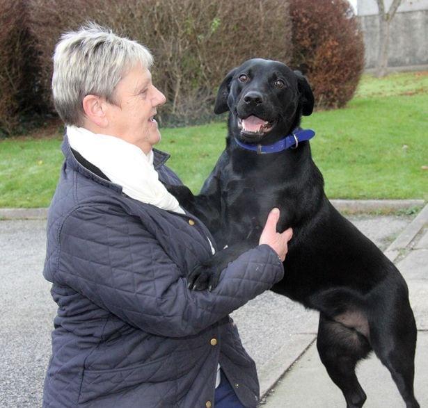 Labrador Padi petface