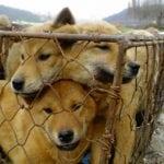 NAKON PAKLENIH 60 GODINA: Zatvara se najveća klanica pasa!