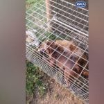ŠOKANTAN SNIMAK: Od pasa stvarali ubice i huškali ih na divlje životinje!
