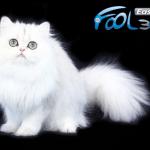 Sedam najpopularnijih rasa mačaka sa najdužom dlakom