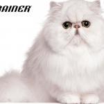 10 rasa mačaka sklonih gojaznosti