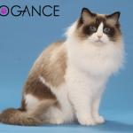 Upoznajte top 10 mačaka sa najmekanijim krznom