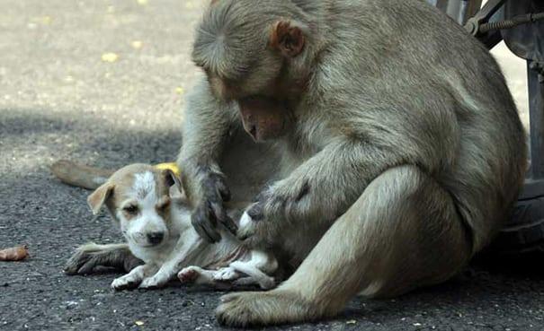 majmun petface