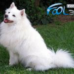 Devet rasa pasa koje se linjaju najviše