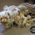 NEVEROVATNO: Spasen mačor Sinbad sa krznom težim od njega samog