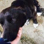 TRAŽE POČINIOCA: Evo šta se dešava sa psom Mujom iz okoline Čačka, kome su odsečene noge!