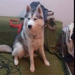 PARAĆIN: Astor je bio vlasnički pas koji je u subotu OTROVAN u svom dvorištu!