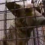 1.000 ŠEROVA ZA 4 SATA: Najtužniji VIDEO koji prikazuje kako se HVATAJU i MUČE psi na ulicama Balkana!