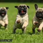 Koje rase pasa su najsklonije gojaznosti?