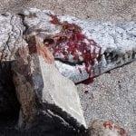 ZAŠTO: Posetioci zoološkog vrta kamenovali krokodila, nakon čega je uginuo!