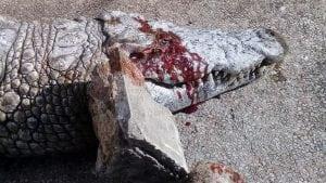krokodila petface