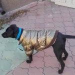 Nemanja je pronašao psa – ima ogrlicu i jaknicu! PODELITE, vlasnik ga sigurno traži!