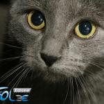 Predstavljamo 11 najdruželjubivijih rasa mačaka