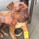 ŠABAC: Pit bul upucan u glavu, jer je izgubio u borbi pasa!