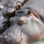 Uginula Nila, beba nilskog konja iz beogradskog zoo vrta!