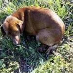 STRAVIČNO NASILJE U KRALJEVU: Pronašli psa sa odsečenim nogama!