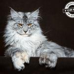 Upoznajte šest najvećih rasa mačaka