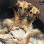 Nerazdvojni psi Adonis i Apolo udomljeni su zajedno