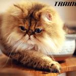 DA LI STE ZNALI: Koje rase mačaka su najsklonije gojaznosti?