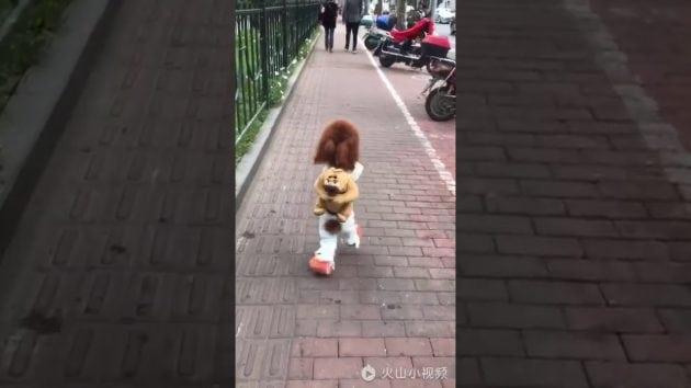 pas ide na dve noge petface