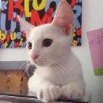 BEOGRAD U POTRAZI: Svi traže Belog – albino mačka koji je gluv!