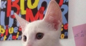 albino petface