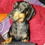 NAJNOVIJA VEST: Lola je bila vlasnički pas, kog je ZAO ČOVEK otrovao!