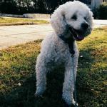 NOVI BEOGRAD: Luki je nestao pas pre nekoliko sati i moli za pomoć!