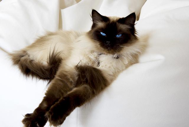 rase mačaka petface