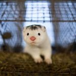 JOŠ JEDNA POBEDA: I Češka zabranila uzgoj životinja radi krzna!