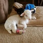 Tužna priča o LILI I PEDI: Neizbrisiva ljubav jagnjeta i čivave