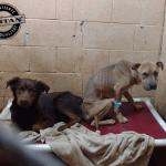 Neverovatna transformacija pasa koji su zajedno otišli u novi dom